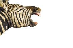 La zebra ha isolato Fotografia Stock