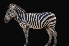 La zebra ha isolato immagini stock