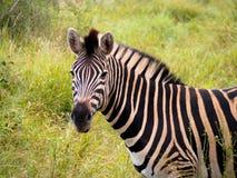 La zebra nel Sudafrica Fotografie Stock