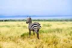 La zebra in savanna africana esamina la distanza Fotografia Stock