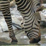 La zebra sorseggia l'acqua Immagine Stock Libera da Diritti
