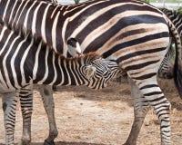 La zebra succhia su Fotografia Stock