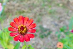 La zinnia arancio fiorisce in basso a sinistra sulla vista superiore Fotografie Stock