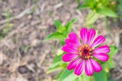 La zinnia rosa fiorisce in basso giusto sulla vista superiore Fotografia Stock
