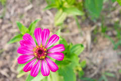 La zinnia rosa fiorisce in basso a sinistra sulla vista superiore Fotografia Stock