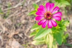 La zinnia rosa fiorisce in cima giusto sulla vista superiore Immagine Stock