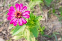 La zinnia rosa fiorisce in cima a sinistra sulla vista superiore Fotografie Stock Libere da Diritti
