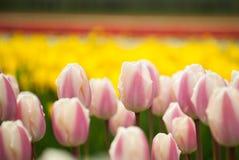 La zone des tulipes se ferment vers le haut Images stock