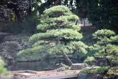 Laag-gekweekte pijnboom stock afbeeldingen