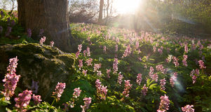 Laag hoekschot van magenta bloemen in de zonsondergang met een echte lensflare - bebouwd panoramisch stock foto