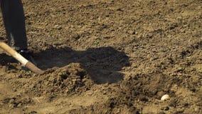 Laag schot die van mannelijke landbouwer een kuil in grond en kind graven die aardappel daarin zetten stock footage