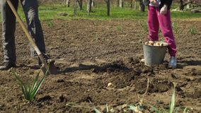 Laag schot van landbouwer en zijn dochter die aan gebied werken en aardappels planten stock footage