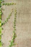 Laagknopen of Mexicaans madeliefje op de muur Stock Afbeeldingen