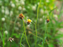 Laagknopen, Mexicaans madeliefje, Tridax-madeliefje, Wilde Daisy Royalty-vrije Stock Fotografie