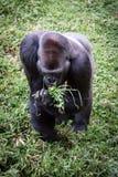 Laagland Gorilla Eating Grass royalty-vrije stock afbeelding