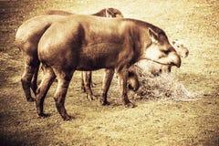 Laaglandtapirs Royalty-vrije Stock Afbeeldingen