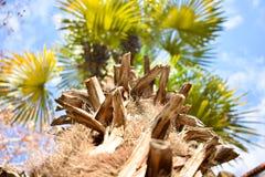 laat de bodem hoogste foto door het bruine logboek van een palm aan vele takken met vele green aan de blauwe hemel open met stock afbeelding