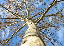 laat de bodem hoogste foto door het logboek van een esdoornboom aan vele takken bijna zonder aan de hemel met weinig klein open royalty-vrije stock afbeeldingen