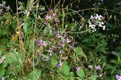 Laat in de iris van seizoendouglas, Irisdouglasiana royalty-vrije stock foto's