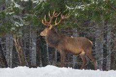 Laat het sneeuwen: Snow-Covered Rood Hertenmannetje Cervus Elaphus met Grote Hoornentribunes zijdelings tegen Sneeuwforest and sn Royalty-vrije Stock Afbeelding