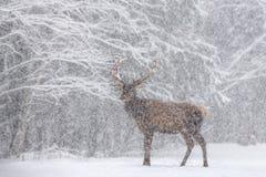 Laat het sneeuwen: Snow-Covered Rood Hertenmannetje Cervus Elaphus met Grote Hoornentribunes zijdelings tegen Sneeuwforest and sn Royalty-vrije Stock Fotografie
