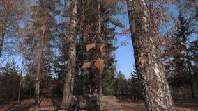 Laatste bladeren op de berk in de herfst stock video
