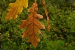 Laatste bladeren op de takken van een eiken bos op de achtergrond Stock Afbeeldingen