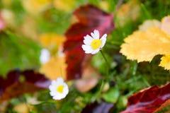 Laatste bloemen van daling Stock Foto