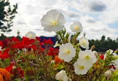 Laatste bloemen van de voorbijgaande zomer Gevoelige petunia tegen a stock fotografie