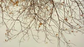 Laatste gouden de herfstbladeren op takken en grijze donkere hemel stock video