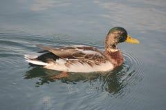 Laatste mannetjeseend op het meer Stock Foto's