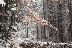 Laatste rode die bladeren in sneeuw worden behandeld Stock Fotografie
