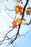 Laatste rode esdoornbladeren Stock Afbeeldingen