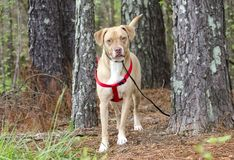 Lab American Bulldog mixed breed dog with red harness, pet adoption photography. Spayed and microchipped female tan and white Labrador and Boxer American Bulldog royalty free stock images