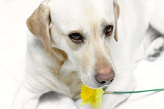 Lab And Daffodil I Stock Photos