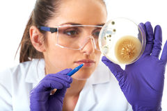 Lab assistant check petri dish with bacterium. Young attractive laboratory assistant check petri dish with agar and bacterium on it, isolated on white royalty free stock image