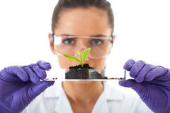 Lab assistant holds small flat dish with plant. Young lab assistant holds small flat dish with soil and plant, wears violet protection gloves, isolated on white stock photos