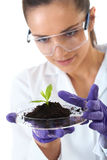 Lab assistant holds small flat dish with plant. Young lab assistant holds small flat dish with soil and plant, wears violet gloves, isolated on white royalty free stock photo