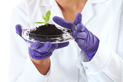 Lab assistant holds small flat dish with plant Royalty Free Stock Photography
