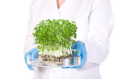 Lab assistant holds small tray with plant. Laboratory assistant holds small lab tray with plant on it, blue lab gloves and lab coat, studio shoot isolated on stock photos