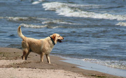 Lab at the Beach. A yellow lab at the beach Stock Photos