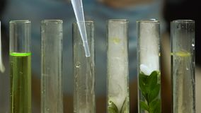Lab biologist adding liquid into test tube with plant sample, gmo experiment