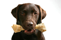 Lab with a Bone Stock Photography