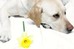 Lab and Daffodil II. Lab posing with yellow daffodil. Thanks Luna for your patience! (She was rewarded for it royalty free stock photography