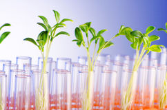 Lab experiment with  seedlings. Lab experiment with green seedlings Stock Image