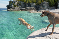 Lab jumping into cold clear waters Stock Images