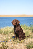 Lab at the Lake. Female purebred Chocolate Lab puppy on leash beside lake. Three months old royalty free stock image
