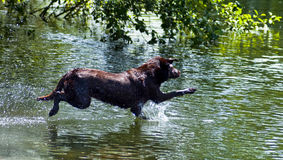 Lab Leaping into Water. Chocolate Labrador Retriever leaps into water at a dog park. Happy water dog jumps in to a retrieve a ball Stock Image