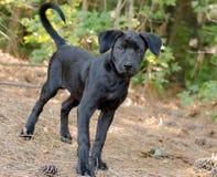 Lab mix puppy adoption portrait. Black Lab mix puppy outdoor adoption portrait royalty free stock images