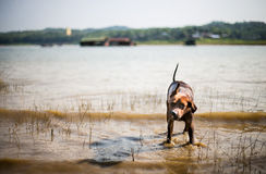 A lab mix shaking off water after swimming in a local river.  Stock Photography